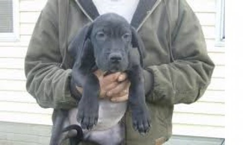 Great Dane Puppies Available For Sale