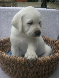 صور Adorable Labrador puppy looking for new home 1