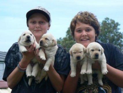 Playful Golden Labrador Puppies
