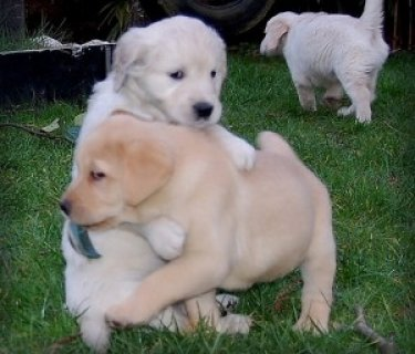 صور Quality Labrador Retriever Puppies. 1