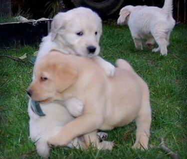 Quality Labrador Retriever Puppies.