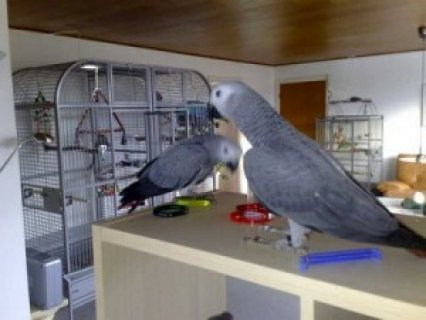صور Red Congo African Grey Parrot 1 1