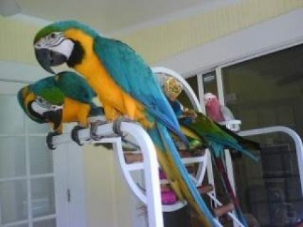 Blue and Gold Macaw Parrots  Available