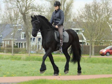NOW READY MARE FRIESIAN HORSES