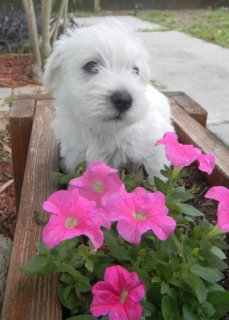 West Highland White Terrier for adoption