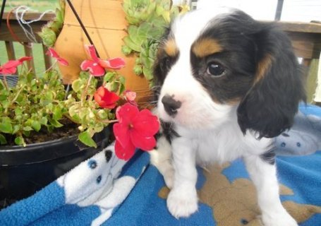 صور excellence cavalier king charles spaniel puppies for sale 1
