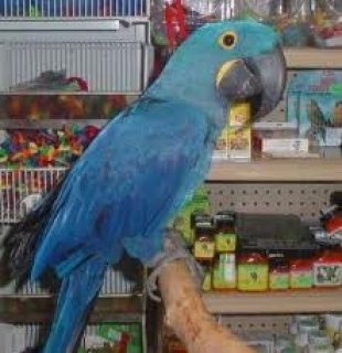 صور Talking Blue and Gold Macaws for free adoption 1