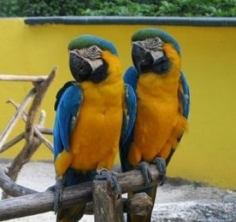 صور Blue and Gold Macaws for free adoption ,,,,,o 1