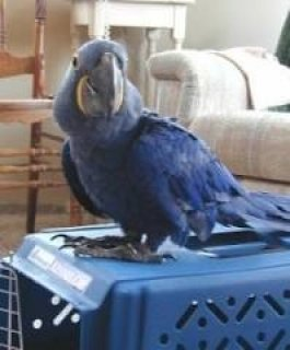 HYACINTH MACAW BIRDS SEEKING NEW HOMES,