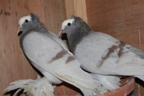 Different breeds of fancy pigeons for sale....