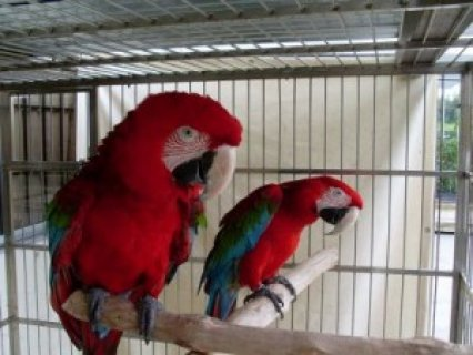 صور Adarable Pair Green Wing Macaw Parrots For Adoption To Any Lovel 1