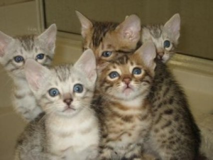 صورة 1 BENGAL Kittens Available......