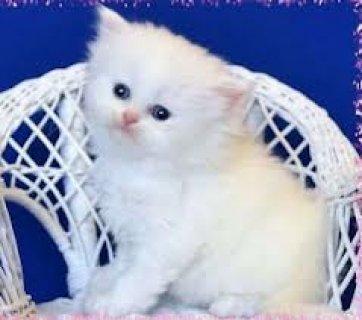 Gorgeous Himalayan Persian Kittens