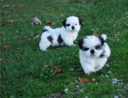 صور Shih-Tzu puppies 1
