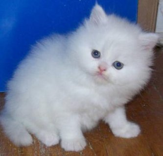 Beautiful Rare Marking Perisan kittens