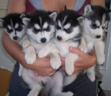 Siberian Husky Puppies with Blue Eyes 11