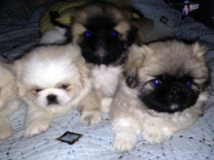 Pekingese puppies Ready Now For New Homes1