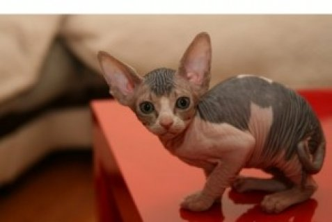 Registered Sphynx Kittens