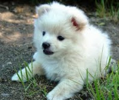 Lovely Female Pomeranian puppies