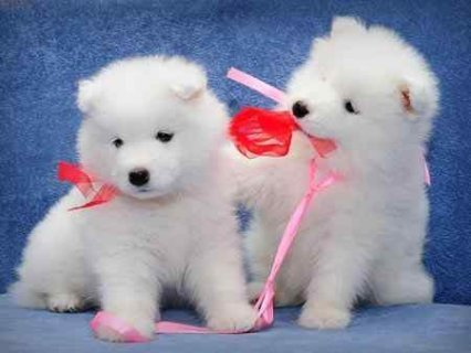 صور Samoyed puppies for good homes 1