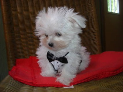 صور  Cute male and female Snow white Maltese puppies to give it out  1