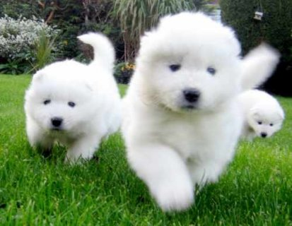 صور AKC Female Male Samoyed Puppies for sale 1