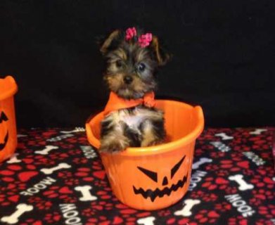 Princess is an adorable Yorkie
