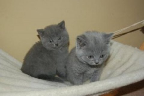Cute male and female British Shorthair kittens for sale