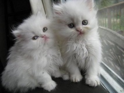 well trained male and female Teacup Persian kittens Available