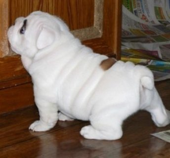 CHARMING AND AMAZING ENGLISH BULLDOG PUPPIES FOR NEW FAMILY HOM