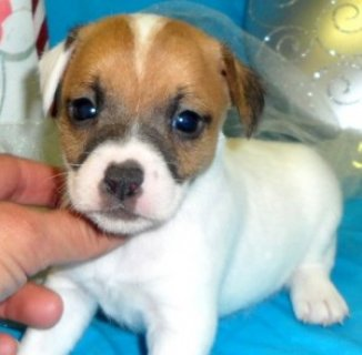 Adorable Little Jack Russell Puppies for sale