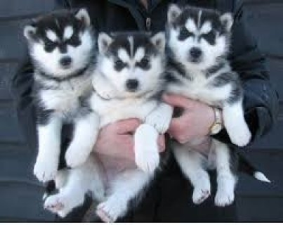 صور Beautiful Siberian Husky Puppies Now Going  1