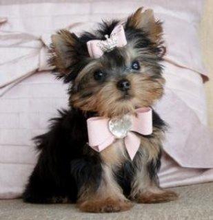 Gorgeous Yorkie Puppies