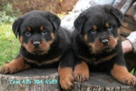 صور Registered Rottweiler Puppies 1