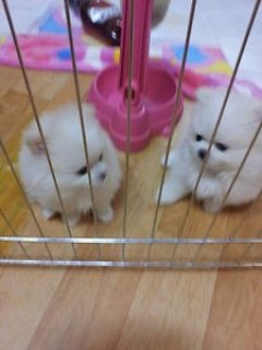 2 beautiful Pomeranian female puppies