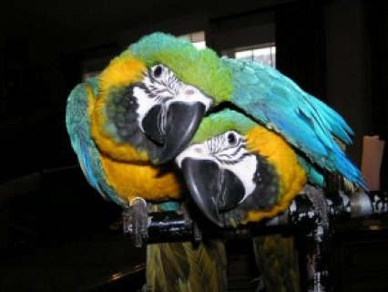 صور Excellent Talkers Blue and Gold Macaw Parrots  1