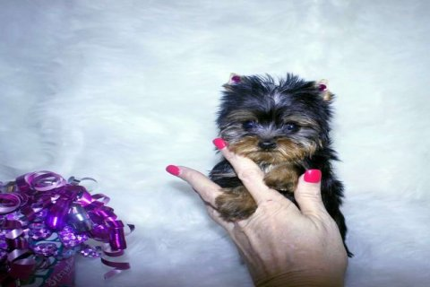 صور Cutey Male And Female Yorkie Puppies For Rehoming  1