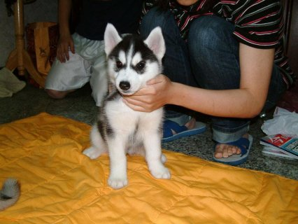 صور  Siberian Husky Puppies available.21 1