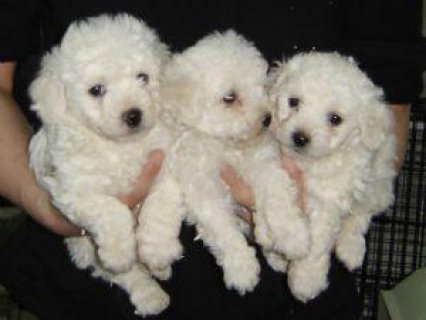 صورة 1 Pure Breed Male/Female Bichon Frise Puppies For Sale