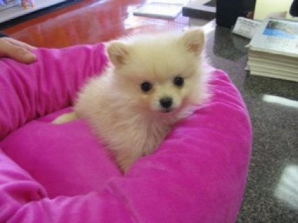 Playful Pomeranian Puppy For Sale.........