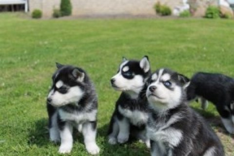 100% Siberian Husky Puppies,,,,,,