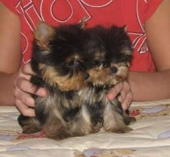 صور Yorkie Puppies for Sale,,,,,,,,,,,,,,, 1