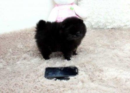 Pomeranian Puppies Available,,,,,,,,,,,,,,,,,,,,,