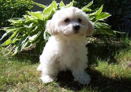 Twin Havanese puppies