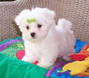 Male Adorable Male Maltese Puppy For Sale