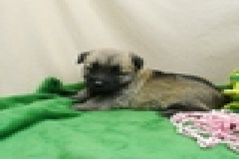 TWO Healthy Cairn Terrier Puppies for free Adoption for Sale