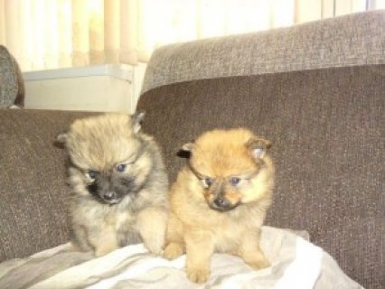 Adorable Tiny Pomeranian Puppies Available For Sale