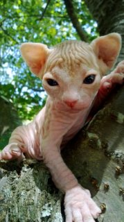 Don\'t miss out on these Sphynx Kittens
