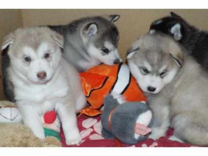 Cute Siberian Husky puppies.....