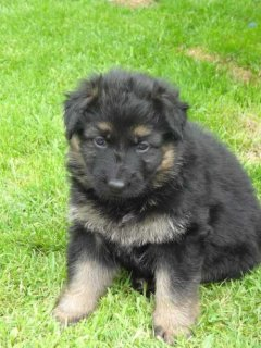 Lovely Black And Tan German Shepherd Dog Puppies For Sale.